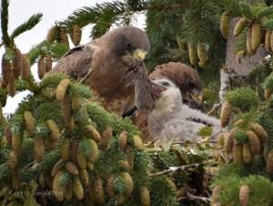 Hawks Feeding Their Chick