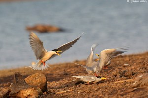 Disturbed Mating of River Terns