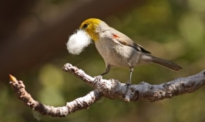 Nest building verdin