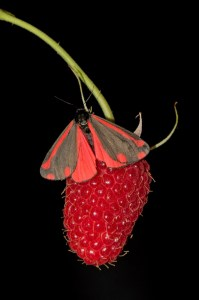 Cinnabar Moth on Raspberry