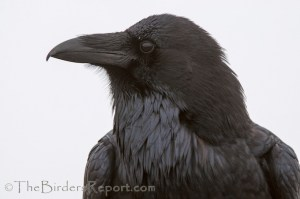 Common Raven in the Fog