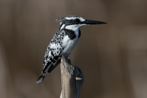 The First Pied Kingfisher of the Autumn