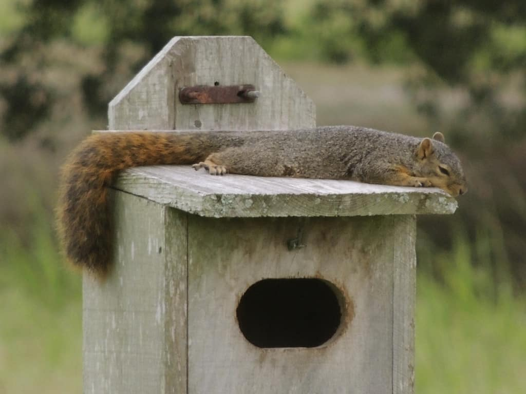 'Sleepy Time Squirrel' by Joelle Budden