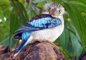 Blue Wing Kookaburra  staring at me