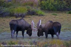 Bull Moose Standoff