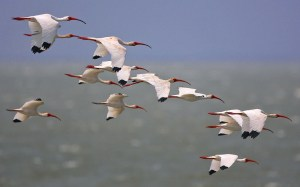 White Ibis over The Gulf