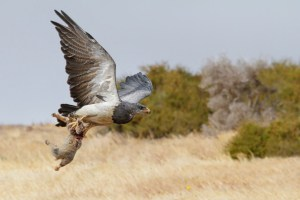 Black-chested Buzzard-eagle with  Fox
