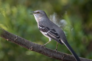 Are mockingbirds life-long learners?