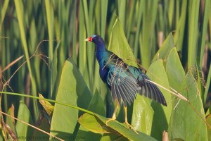 Purple Gallinule at Harns Marsh Preserve
