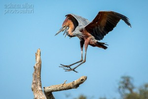 Touchdown - Goliath Heron