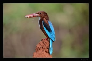 White Breasted Kingfisher with Feed