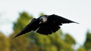 Jackdaw in Flight