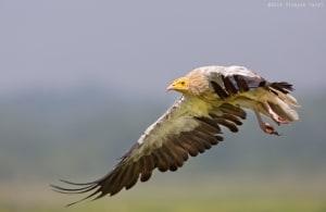 Pharoah in flight