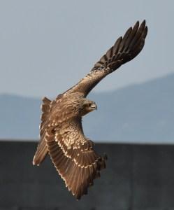 Hawk acrobatics