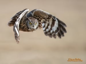 Spotted Eagle Owl - South Africa