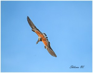 Lesser Kestrel with Microtus