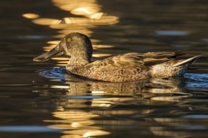 Female northern shoveler at dusk