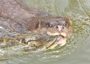 Otter with large Pike