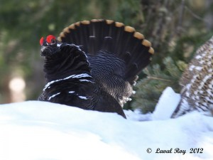 Ready to fight? Spruce Grouse