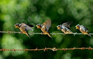 Barb Swallow Feeding Time