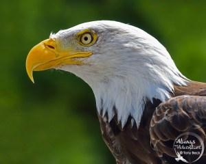 Backlit Eagle