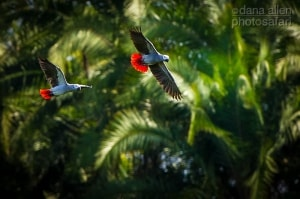 Flight of Freedom - African Grey Parrot