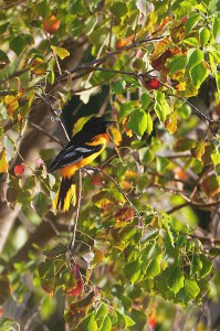 Raging Autumn Colors (Baltimore Oriole)