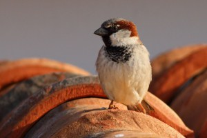 Common House Sparrow on Red-tile Roof