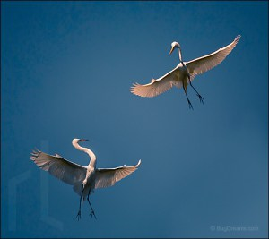 Two Stars - Great White Egret