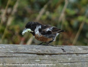 Male Stonechat eating lunch