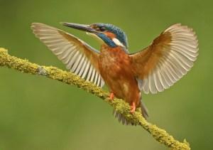 Angry Kingfisher