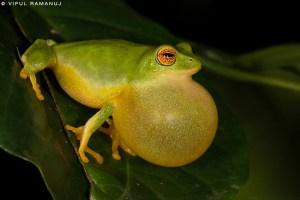 Jayaram's Bush Frog  -   Raorchestes Jayarami