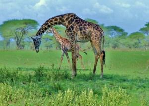 Twiga on the Serengeti