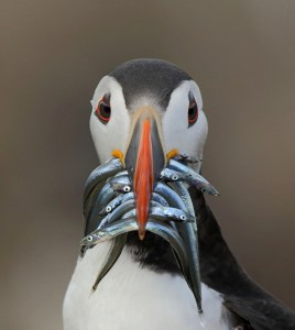 Puffin with Lunch