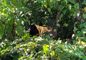 Albino baby Howler Monkey