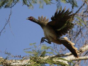 Perfect landing, West-mexican Chachalaca