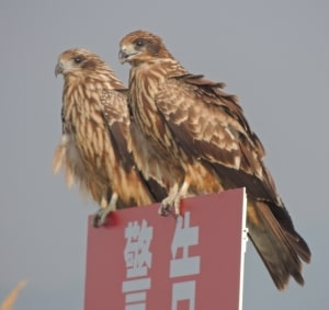 Young Black Kite Friends