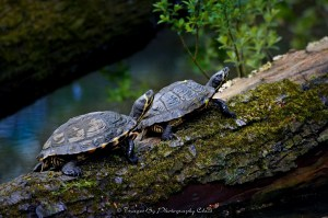 Horned Turtle