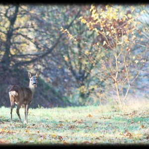 Deer in Kold Morning Light