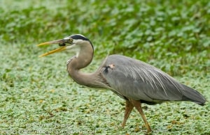 Great Blue Heron with Crayfish