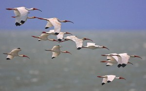 White Ibises Over the Gulf of Mexico
