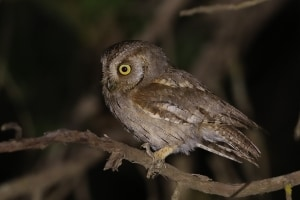 Arabian Scops Owl at Al Mehfar Park