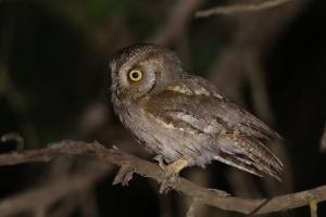 Arabian Scops Owl at Al Mehfar Park