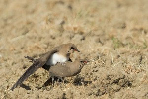 Collared Pratincoles Mating