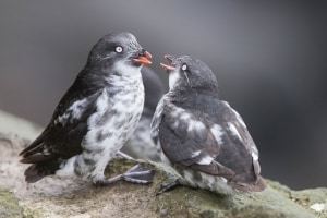 Least Auklets on St Paul Island