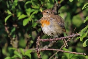 First Suit of Feathers - Juvenile Robin Erithacus rubecula