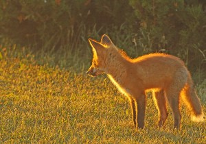 The Golden Hour - 5 Fox Kits on Night Hunt