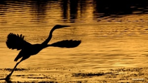 Great Blue Heron in Gold