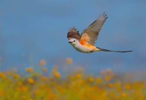 Texas Spring: Scissor-tailed Flycatcher