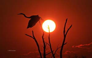 Great Egret Taking Off at Sunset